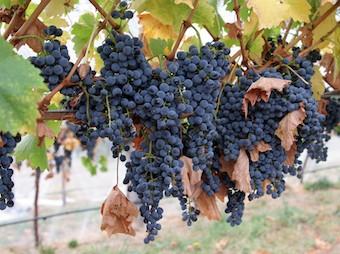 Cours_Anglais_Vitivinicole_Narbonne_2.jpg - Cours d'anglais viti vinicole à Narbonne